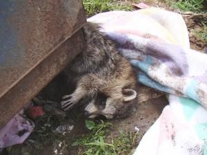 Raccoon rescued in a dumpster - photo by Dee Howe
